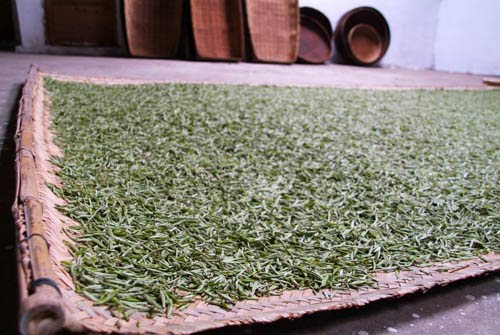 How is White Tea Processed?